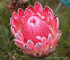 A beautiful Protea - South Africa's National Flower