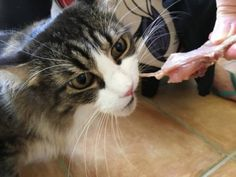 Raw Food Diet for Cats – Safety First