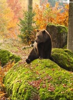 Brown Bear chillin' in the forest