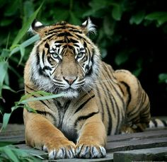 The eyes of the tiger.
