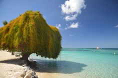 Ste.-Anne, Marin, Martinique _Caribbean tree | von rosch2012   RePinned by : www.powercouplelife.com