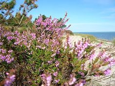 lyng Flowers, Plants, Blog, Florals, Blogging, Plant, Flower, Bloemen, Planting