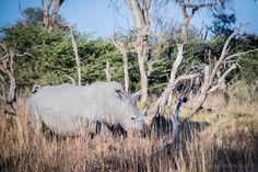 Moremi Wildreservat - auf Leoparden-Safari im Okavango Delta Safari, Be The Creature, Okavango Delta, Game Reserve, Rhinoceros, Moose Art, Africa, Creatures, Horses