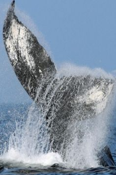 11 Buoyant Facts About Humpback Whales White Humpback Whale, Beautiful Creatures, Animals Beautiful, Funny Animals, Cute Animals, Sea Cow, Under The Ocean, Wanderland, Ocean Creatures