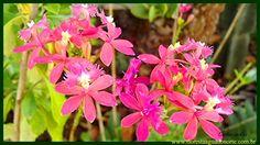 Natureza - Planta de Vaso e Jardim - Orquídea Pequeno Beija Flor - Epide...