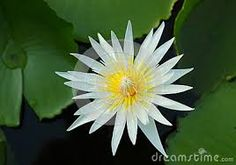Image result for water lily top
