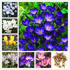 Benar lampu saffron crocus, iran saffron, (tidak biji saffron), umbi bunga, Bunga Bahagia Sukacita, bonsai pot tanaman untuk rumah garden-2bulbs