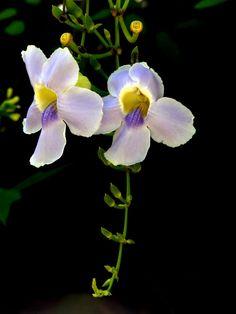 Dây leo bông xanh ở xứ sở tình yêu  http://dienhoadanang.com/1409545552-Day-leo-bong-xanh-o-xu-so-tinh-yeu.html  Hoa Tươi Đà Nẵng in Thành Phố Đà Nẵng