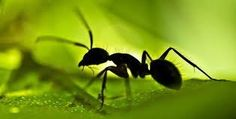Quando as formigas são confrontadas com uma sobrecarga de informação e enfrentam muitas decisões - sobre onde morar, por exemplo - elas revertem para a sabedoria da multidão.
