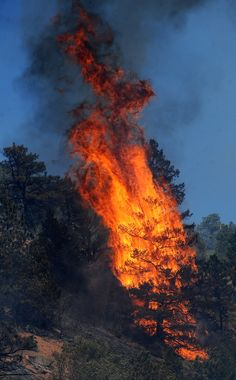 Flames consume a tree along the north side of U.S. Highway 24 near the Waldo Canyon Trailhead between Cascade, Colo., and Manitou Springs, Colo., Tuesday, June 26, 2012. Colorado has endured nearly a week of 100-plus-degree days and low humidity, sapping moisture from timber and grass, creating a devastating formula for volatile wildfires across the state and punishing conditions for firefighters