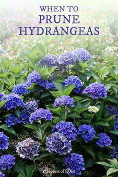hydrangea garden care How to know when or if to prune hydrangeas. Hydrangea Potted, Hydrangea Landscaping, Hydrangea Bush, Hydrangea Care, Hydrangea Flower, Hydrangea Winter Care, Yard Landscaping, Landscaping Ideas, When To Prune Hydrangeas