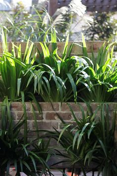 Neomarica gracilis - Walking Iris to be used in front of the ficus hedge on the eastern boundary. Front Garden Path, Garden Paths, Garden Landscaping, Back Gardens, Small Gardens, Ficus Hedge, Walking Iris, Tropical Plants, Hedges