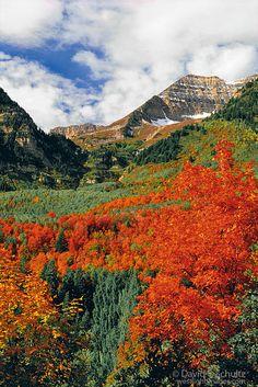 Rocky Mounain Maple trees in front of Mount Timpanogos at Sundance, Wasatch Mountains, Utah.