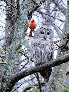 Owl and Cardinal Nature Animals, Animals And Pets, Cute Animals, Owl Photos, Owl Pictures, Beautiful Owl, Animals Beautiful, Cardinal Birds, Owl Bird