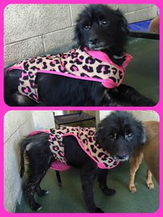 RESCUED --- Owner surrender Bella, sad looking, withdrawn 7 yo terrier girl. #A1150151, an old MDAS ID. She has a moderate case of hair loss, maybe demodex. Her eyes have a faraway, glassy look. Also has a bit of drainage. Needs our help to get out. Please share. In need of TLC. With a little attention, love and proper diet she could be a very pretty girl. Underweight at only 23 lb. at Miami Dade Animal Services