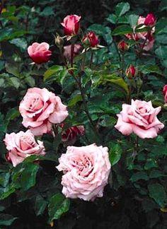 Belinda's Dream - Antique Rose Emporium - an Earthkind Rose  http://aggie-horticulture.tamu.edu/earthkind/roses/cultivars/