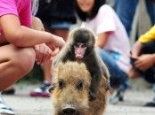 ride that pig baby monkey!