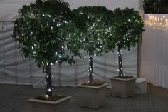 2.3m high Ficus Topiaires in cream roman square pots with fairy lights