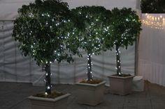 2.3m high Ficus Topiaires in cream roman square pots with fairy lights