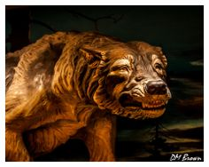 A huge number of fossils of the Dire Wolf have been recovered at the Le Brea Tar Pits. Often with the remains of the prey they hunted. The Dire Wolf like today's wolves hunted in packs. When their prey would become trapped in the tar the wolves would attack and become trapped themselves.  © Aventine Images http://www.aventineimages.com Follow me on Facebook at: http://www.facebook.com/AventineImages