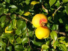 pigwowiec owoc