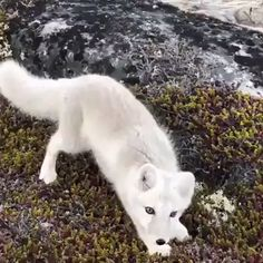 curious Arctic Fox approaching a Wildlife photographer. A curious Arctic Fox approaching a Wildlife photographer.A curious Arctic Fox approaching a Wildlife photographer. Cute Animal Videos, Funny Animal Pictures, Cute Little Animals, Cute Funny Animals, Nature Animals, Animals And Pets, Wild Animals Videos, Newborn Animals, Artic Animals