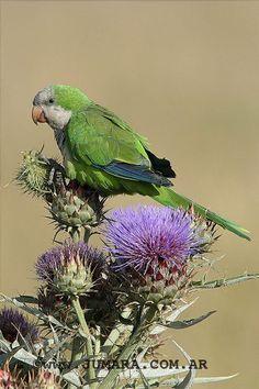 Cotorra - Pájaro  del Uruguay - *