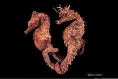 Seahorse - by Gianni Colucci #seahorse