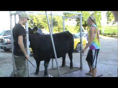 How To Fit Show Cattle-good video reminds me of all the work I did on my heifers