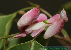 Hymenopus coronatus Female Orchid Mantis