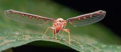 insectish: Derbid дельфациды (Derbidae) Один из самых крупных семейств дельфациды, Derbidae имеет почти 1700 видов.  Derbids, которые питаются растениями, как взрослых, так и грибов, как нимфы, наиболее часто встречаются в субтропических и умеренных областях.  Их крылья могут проводиться наружу в состоянии покоя, или параллельно телу.  Хотя крылья переменной, все члены Derbidae имеют ряд шипов на их задних ногах.  Фотографии по Orionmystery, Ники Bay, и Андреас Кей