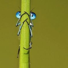 A damselfly hides behind a blade of grass, but fails to realise its eyes can be seen poking out either side.