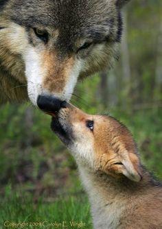 wolf & pup-beautiful