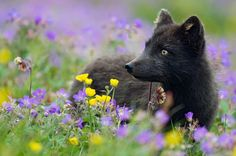 YOUNG SILVER FOX BETWEEN FLOWERS