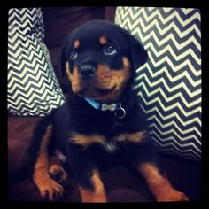 Rotweilers the kind we want for Delisa and RJ