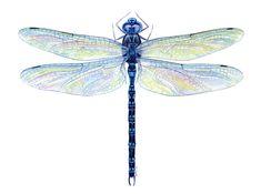 watercolor dragonfly  | Spatterdock Darner Dragonfly ( Aeshna mutata )