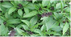 Use mais esta planta: ela limpa as artérias, protege coração, combate dores e melhora digestão!   Cura pela Natureza