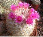 Boules, cierges, Opuntia… Les Cactées sont des plantes épineuses originaires d'Amérique. Elles sont classées ici par nom, de A à Z.