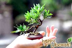 very small trees - Google Search