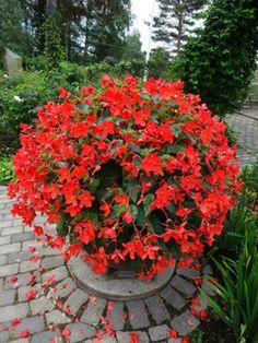 Skaugam Begonia - Fiery Orange Red