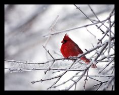This photo was taken by Kari Gunter-Kremers of a cardinal sitting on a branch. This is a strong photograph for many reasons. First of all, the red bird completely goes in contrast with the white setting which draws your eyes to it. I also like how there is a shallow depth of field making the background mysterious. The border around the picture makes the viewer know that she only wanted them to see what was in the frame. I think the black was a good choice because it machos the birds eyes.
