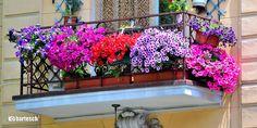 flori-de-balcon-petunii.jpg (1350×675)