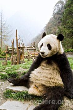 Fan Favorite Panda Voted Off of 'Panda Island' Reality Series Reality Serieshttp://thefluffingtonpost.com/
