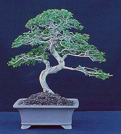 10 Bonsai Ideas Bonsai Bonsai Tree Chinese Elm Bonsai