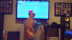 Tennis-loving dog that can't contain his excitement at Australian Open  - http://www.weirdlife.com/tennis-loving-dog-cant-contain-excitement-australian-open/
