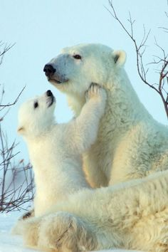 Polar Bear and cub. Each year the polar ice cap melts, the struggle worsens and continues for survival . The effect on our environment is indiscriminate. Seas will swell, effect land mass, and unforgiving catastrophic weather conditions. Baby Polar Bears, Cute Polar Bear, Cute Baby Animals, Animals And Pets, Funny Animals, Wild Animals, Bear Pictures, Cute Animal Pictures, Bear Cubs
