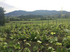 Colchagua Valley, Wine Region, Santa Cruz, Chile