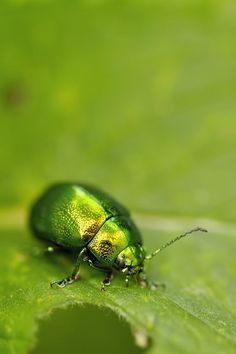 World Of Color, Color Of Life, Go Green, Green Colors, Beautiful Creatures, Animals Beautiful, Palette Verte, Green Beetle, In Natura