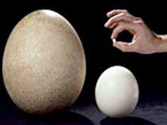 Left to right - An Elephant Bird egg (extinct), Ostrich egg, and a hummingbird egg.