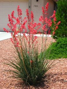 Red Yucca for the area between the grass and the driveway. Mix in some mullen with it for contrast and maybe a smaller barrel cactus.